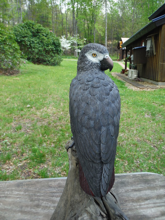 African Grey Parrot How To Train African Grey Parrot